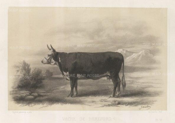 "Lemercier: Hereford Cow. c1850. An original antique lithograph. 15"" x 11"". [NATHISp5347]"