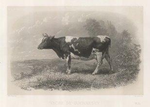 """Lemercier: Guernesey Cow. c1850. An original antique lithograph. 15"""" x 11"""". [NATHISp5348]"""