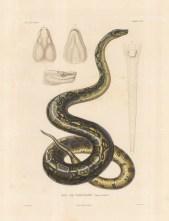 Snake: Emperor Boa of Peru. Boa de chevalier with anatomical details.