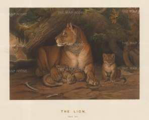 Lioness: Felis leo. Captured near the Euphrates. Drawn from life with cubs bred in captivity at the society's Vivarium.