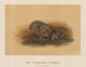 Wombat: Tasmanian Wombat. Phascolomys wombat. Adult with young bred in its enclosure at the society's Vivarium.