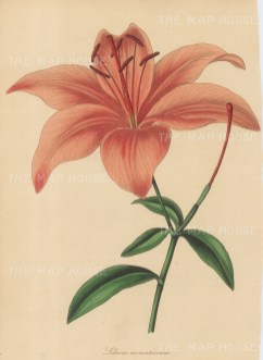 "Paxton: Lily. 1839. An original hand coloured antique lithograph. 6"" x 9"". [FLORAp3194]"