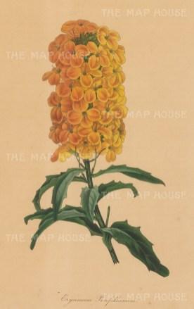 Golden Shot Wallflower. Erysimum Perofskianum.