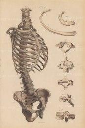 Spine, Ribs and Pelvis: With details of vertebra and rib. Plate LXXVI