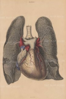 Heart, Pericardium and Lungs: Showing the pulmonary artery and aorta. Plate IX