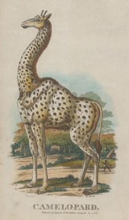 "Nuttall: Giraffe. 1802. A hand coloured original antique etching. 5"" x 8"". [NATHISp7438]"