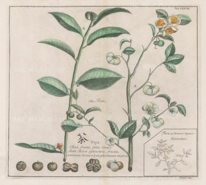 "Kaempfer: Tea. 1727. A hand coloured original antique copper engraving. 14"" x 12"". [VICTp21]"