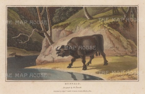 "Daniell: Water Buffalo. 1807. A hand coloured original colour antique aquatint. 7"" x 4"". [NATHISp6262]"