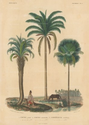 Palms (Attalea): Cocos yatai, Cocos australis and Copernicus cerifera with a Bolivian in traditional dress.