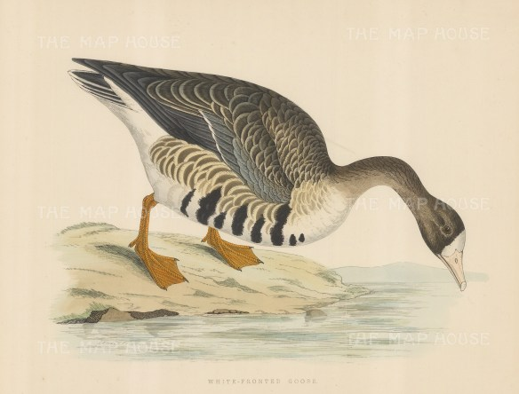 """Morris: White fronted Goose. 1869. An original hand coloured antique lithograph. 12"""" x 9"""". [NATHISp7554]"""