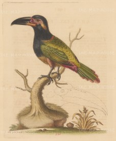 Toucan: Green billed Toucan from Cayenne, Guiana With life size detail of bill.