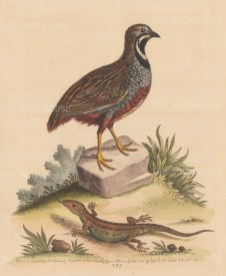 Quail: Chinese Fighting Quail from Nanquin with a Guernsey Sand Lizard propagated in Surrey.