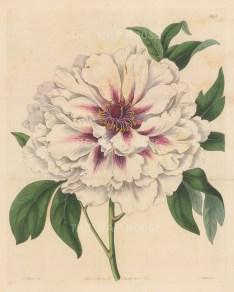 "Botanical Register: Peonie. 1834. An original hand coloured antique steel engraving. 9"" x 11"". [FLORAp3247]"