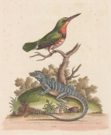 Eurasian Kingfisher with a Blue Iguana of Nevis.
