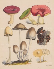 delete British Fungi: Russula (two varieties), Bulgaria, Agaricus, Coprinus and Hygrophorus.