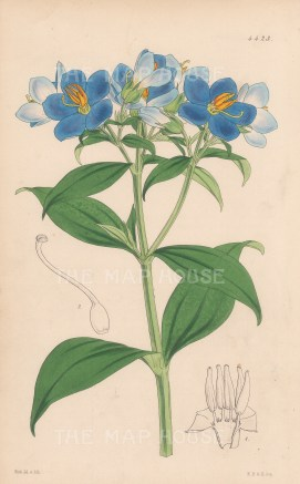 Ceylon Hydrolea: After Walter Hood Fitch.