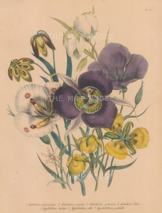 Calochortus and Cyclobothera: Calochortus Macrocarpus, Venustus, Splendens, Luteus, and Cyclobothera Barbata, Alba and Pulchella.