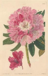 "Botanical Register: Rhodedendron. 1833. An original hand coloured antique steel engraving. 6"" x 9"". [FLORAp3273]"