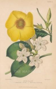 Bush Allamanda: Hothouse flowers, Allamanda Schottii and Stephanotis floribunda. After Augusta Withers.