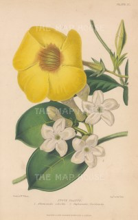 Bush Allamanda: Hothouse flowers, Allamanda Schottii and Stephanotis floribunda. After Augusta Withers.
