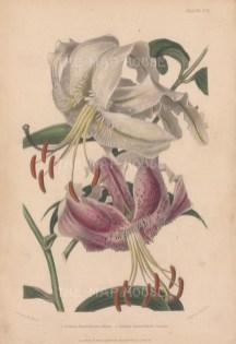 Lily: Lilium lancifolium album and Lilium lancifolium roseum. After Augusta Withers.