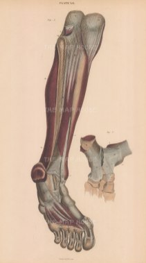Tibia, Fibula, Ankle, Foot and Toes: Anterior view of muscles and ligaments with detail of ankle joint Plate LII.