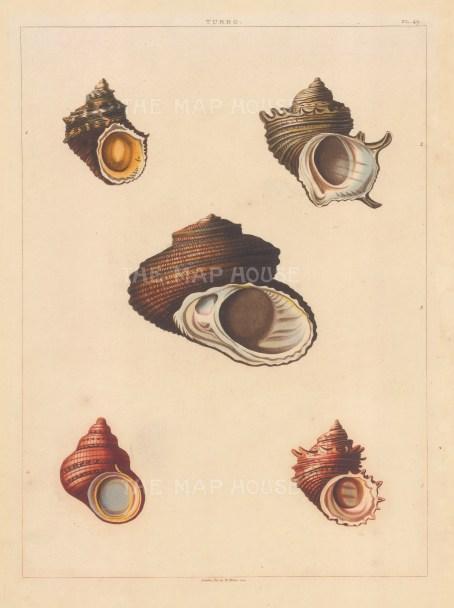 Univalves: Genus Turbo: 1. Turbo Subflavus, 2. T. Brachiatus, 3. T. Perforatus, 4. T. Aurantia, 5. T. Pallidus.