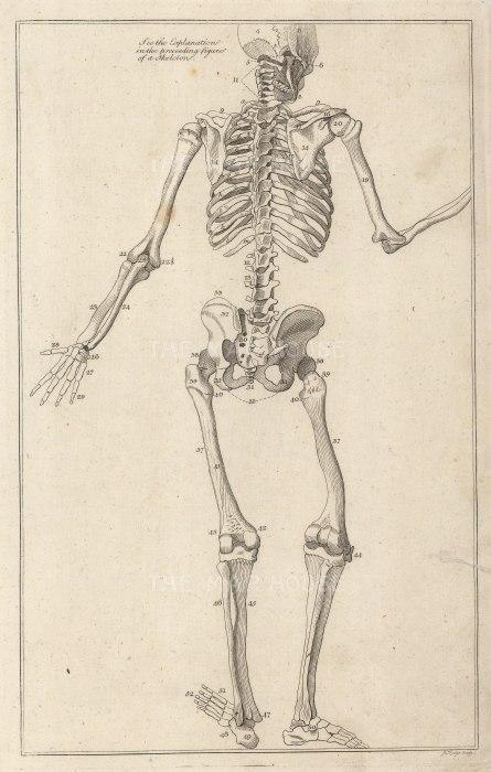 Skeleton: Posterior view of a gesturing skeleton.