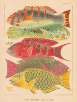 Great Barrier Reef Parrot Fish: 1. Orange banded, 2 Hodgkinson, 3 Scarlet banded and male and female Surf parrot fishes.