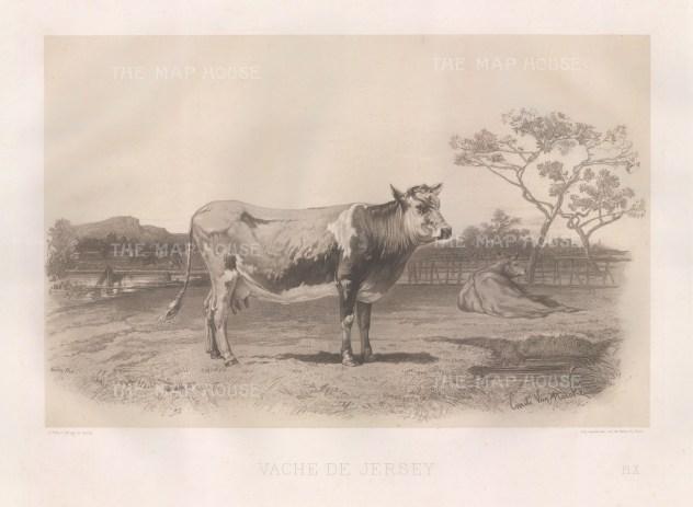 """Lemercier: Jersey Cow. c1850. An original antique lithograph. 15"""" x 11"""". [NATHISp3148]"""