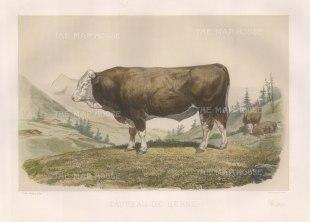 "Lemercier: Berne Bull. c1850. A hand coloured original antique lithograph. 15"" x 11"". [NATHISp3341]"