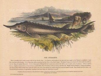 "SPCK: Sturgeon. 1860. An original hand coloured antique wood engraving. 12"" x 10"". [NATHISp6198]"