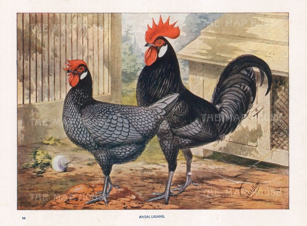 """Feathered World: Andalusian Chickens. 1911. An original antique chromolithograph. 11"""" x 9"""". [NATHISp7049]"""
