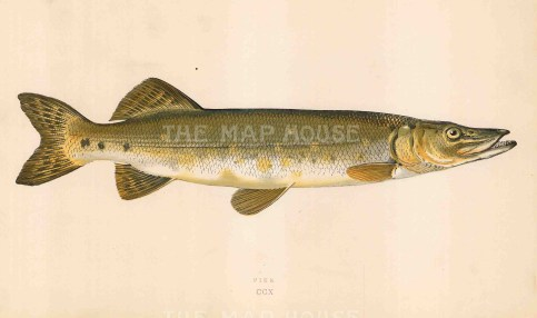 """Couch: Pike. 1878. An original antique chromolithograph. 9"""" x 5"""". [NATHISp7102]"""