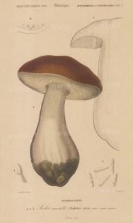 """d'Orbigny: Porcini Mushroom. 1849. An original hand coloured antique lithograph. 6"""" x 9"""". [NATHISp7466]"""