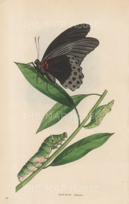 Great Morman Butterfly with caterpillar: Papilio Memnon from India.