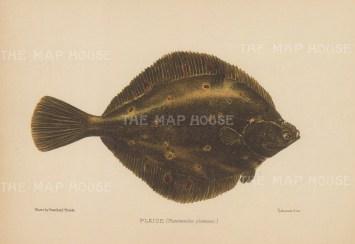 Plaice (Pleuronecles platessa): After Reinhold Thiele.