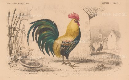 "d'Orbigny: Cockrel. 1849. An original hand coloured antique lithograph. 6"" x 9"". [NATHISp7710]"