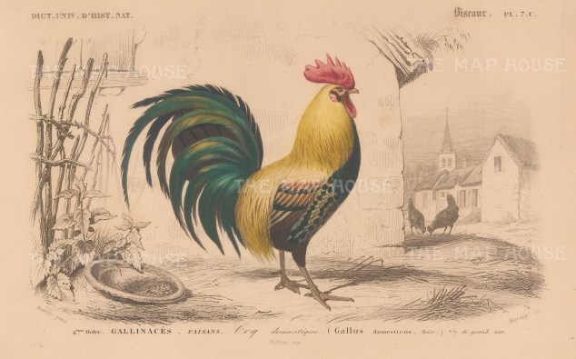 "d'Orbigny: Cockrel. 1849. An original hand coloured antique lithograph. 6"" x 9"". [NATHISp7710]"