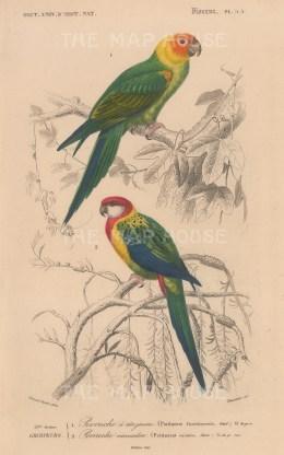 Parrots: Carolina and Nonpareil Parrot. Psittacus Carolinensis and eximius.