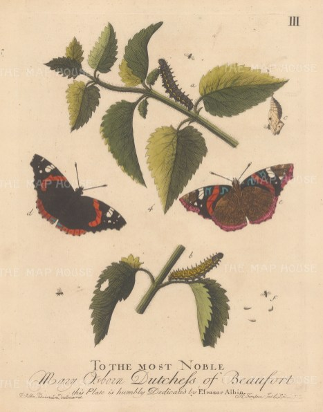 """Albin: Admiral butterfly on Nettle with chrysalis and Ichneumon Fly. 1749. An original hand coloured antique copper engraving. 8"""" x 10"""". [NATHISp7720]"""