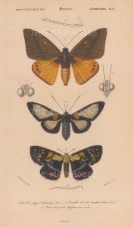 Giant butterfly moth, Papua day-flying night moth, and Joseph's Coat moth. Castinia Japyx, Cocytia durvillii and Agarista agricola.Castinia Japyx, Cocytia durvillii and Agarista agricola.