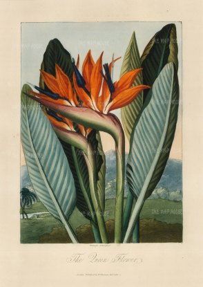 Queen Flower (Bird of Paradise). Set in a romanticized landscape. Native to South Africa, it was brought to the Royal Botanic Gardens in the 1780s.
