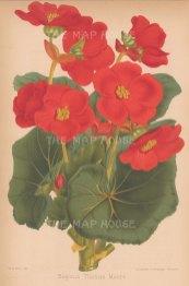 "Fitch: Begonia. c1880. An original antique chromolithograph. 7"" x 10"". [FLORAp2791]"