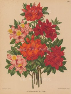 "Wendel: Azalea Indica. 1879. An original antique chromolithograph. 9"" x 12"". [FLORAp3245]"