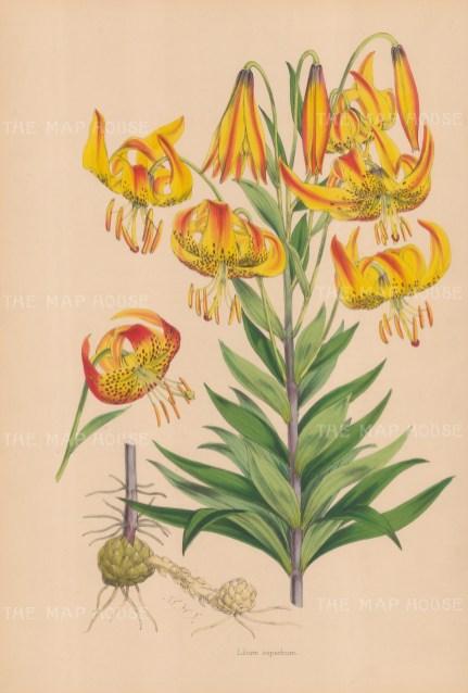 """Fitch: Superb Lily. c1880. An original hand coloured antique lithograph. 14"""" x 20"""". [FLORAp3306]"""