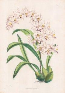 """Fitch: Noble Orchid. 1884. An original hand coloured antique lithograph. 14"""" x 20"""". [FLORAp3309]"""