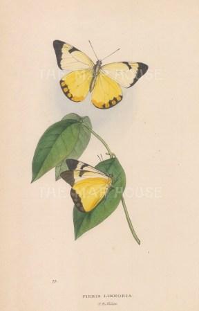 Yellow under-wing White Butterfly; Pieris (Melete) Limnobia from Rio de Janeiro.