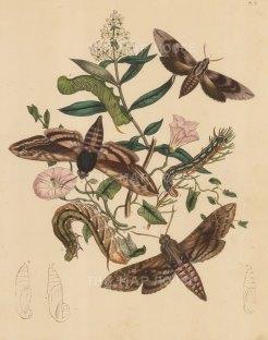 "Kirby: Moths and Caterpillars. 1889. An original hand coloured antique lithograph. 8"" x 10"". [NATHISp7491]"