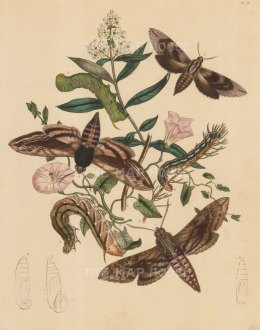"Kirby: Moths and Caterpillars. 1889. An original hand coloured antique lithograph. 8"" x 10"". [NATHISp7491]"